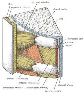 intercostal_muscles